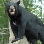 Oswald's Bear Ranch, Bear Ranch, North American Black Bear